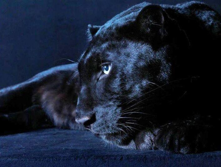 El Negro, der schwarze Paanther