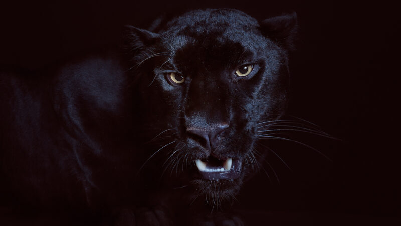 el negro der schwarze panther